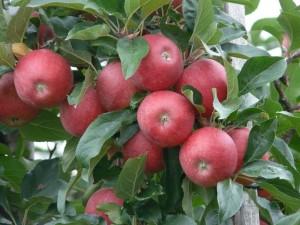 apple-59905_640